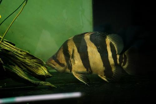 เสืออินโด ลายใหญ่ 14 นิ้ว